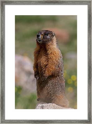 Framed Print featuring the photograph Marmot by Gary Lengyel