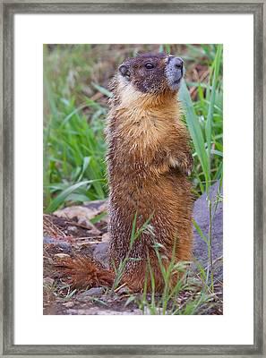 Marmot Love Framed Print by Naman Imagery