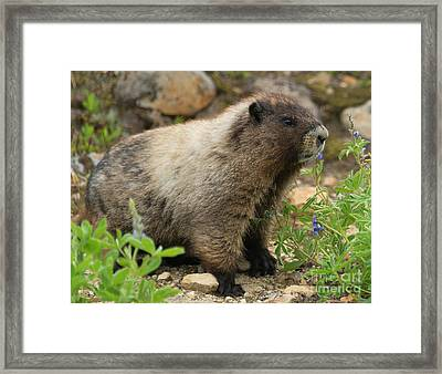 Marmot Lunch Framed Print by Mike Dawson