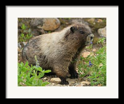 Hoary Framed Prints