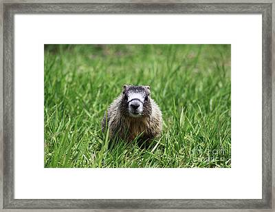Framed Print featuring the photograph Marmot Pup by Alyce Taylor