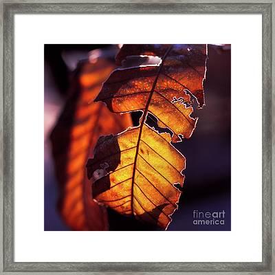 Maron Framed Print by Tatsuya Atarashi