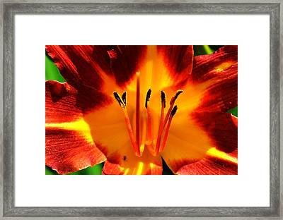 Maroon Lily Framed Print