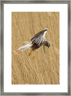 Marsh Harrier Hunting Framed Print
