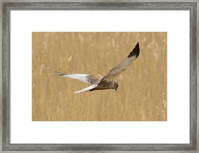 Marsh Harrier Quartering Framed Print