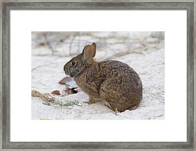 Marsh Rabbit On Dune Framed Print