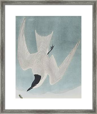 Marsh Tern Framed Print by John James Audubon