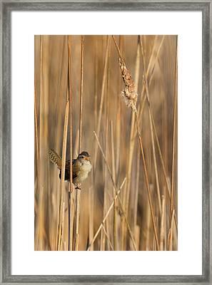 Marsh Wren Framed Print by Bill Wakeley