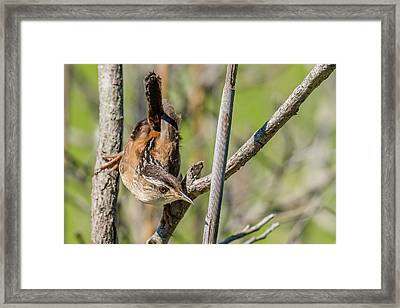 Marsh Wren Looking Framed Print