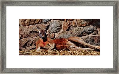 Marsupial Centerfold Framed Print by Lori Tambakis
