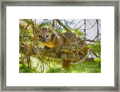 Marten Framed Print by Aaron Whittemore
