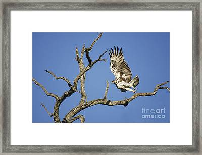 Martial Eagle In South Africa Framed Print
