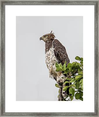 Martial Eagle Overlooking The Bush Framed Print