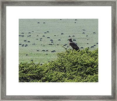 Martial Eagle Overlooking Wildebeest Grazing On The Grasslands Framed Print