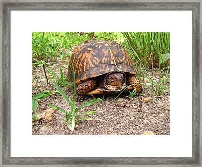 Maryland Box Turtle Framed Print
