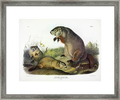 Maryland Marmot, Woodchuck, Groundhog Framed Print