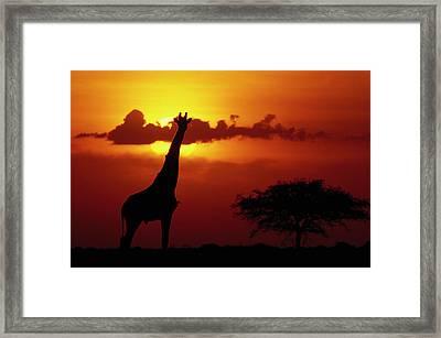Masai Giraffe Giraffa Camelopardalis Framed Print by Gerry Ellis