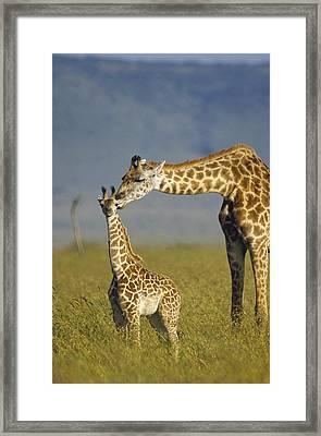 Masai Giraffe Mother And Young Kenya Framed Print