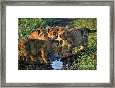Framed Print featuring the photograph Masai Mara Lion Cubs by Karen Lewis