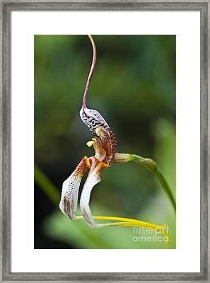 Masdevallia Hortensiae Orchid Framed Print