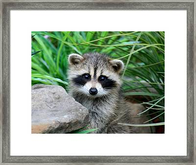 Framed Print featuring the photograph Masked Critter by Diane Merkle