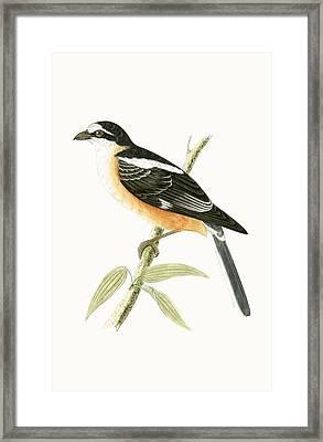 Masked Shrike Framed Print