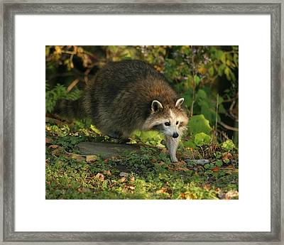 Framed Print featuring the photograph Maskless Raccoon by Doris Potter