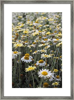 Mass Of Daisies Framed Print by Denice Breaux