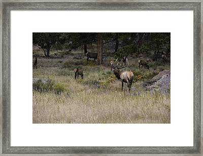 Master Of His Domain - Bull Elk Framed Print by Thomas Schoeller