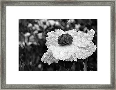 Matilija Poppy Framed Print by Alessandra RC