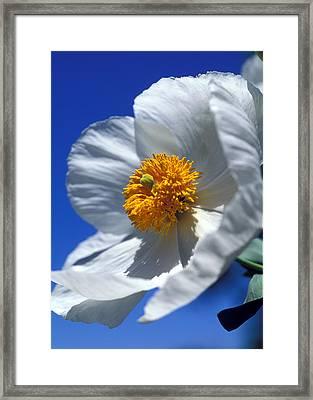 Matilija Poppy Framed Print by Kathy Yates