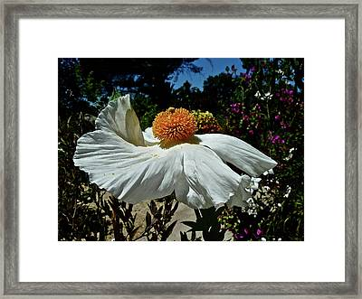 Matilija Poppy Two Framed Print