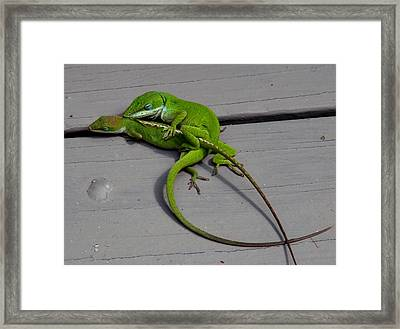Mating Anoles Framed Print by Bruce W Krucke