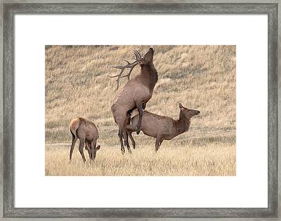 Framed Print featuring the photograph Mating  by Kelly Marquardt