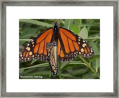 Mating Monarchs Framed Print by Sandy Collier