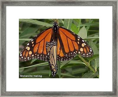Mating Monarchs Framed Print