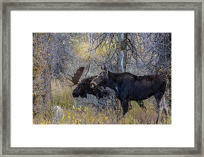 Mating Moose Framed Print