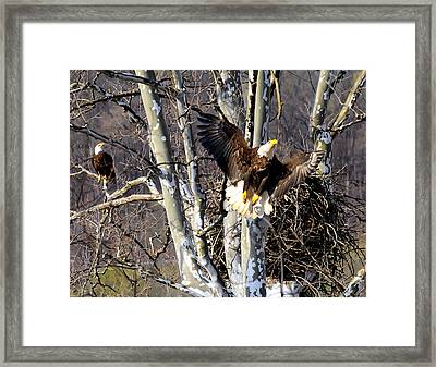 Mating Pair At Nest Framed Print by Randall Branham