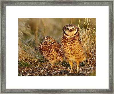Mating Pair Of Burrowing Owls Framed Print by Dennis Hammer
