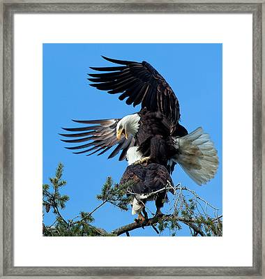 Mating Ritual Framed Print by Sheldon Bilsker