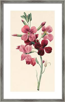 Matthiola Framed Print by Louise D'Orleans