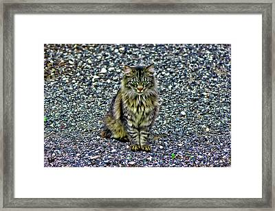 Mattie The Main Coon Cat Framed Print