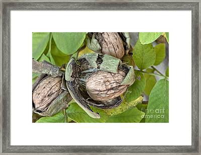 Mature English Walnuts On Branch Framed Print by Inga Spence