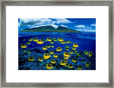 Maui Butterflyfish Framed Print by Dave Fleetham - Printscapes