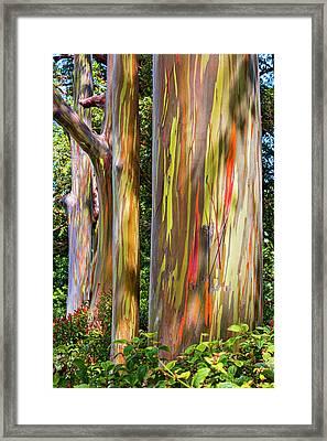 Maui Eucalyptus Framed Print by Kelley King