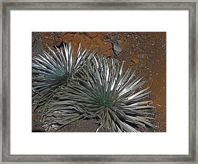 Maui Silversword Framed Print by Elizabeth Hoskinson