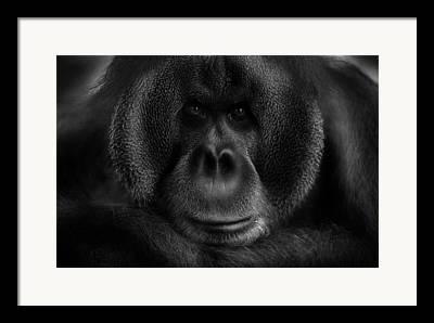 Orang-utans Framed Prints