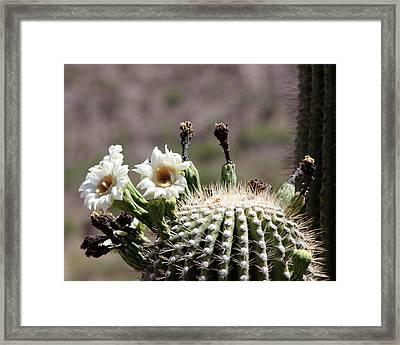 May Saguaro Blossoms Framed Print