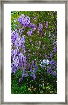 May Wisteria At Duke Gardens Framed Print