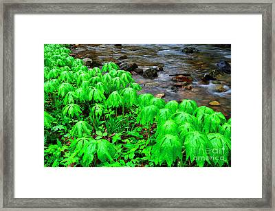 Mayapples And Middle Fork Of Williams River Framed Print by Thomas R Fletcher